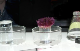 Aquatic toxicology - A purple sea urchin being tested for pollution using a whole effluent toxicity method.