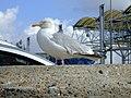 Seagull in Folkestone.jpg