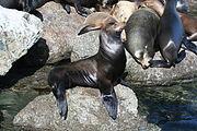 Singa laut di Monterey, California