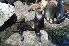 A sea lion in Monterey, California