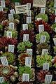 Selection of Sempervivums.JPG