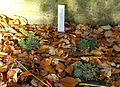 Sempervivum calcareum - Botanischer Garten Braunschweig - Braunschweig, Germany - DSC04381.JPG