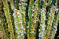 Ses Salines - Botanicactus - Euphorbia candelabrum 03 ies.jpg