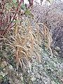 Setaria italica subsp. italica sl1.jpg