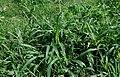 Setaria verticillata W IMG 1085.jpg