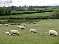 Sheep, grazing at Great Landside Farm - geograph.org.uk - 1247485.jpg