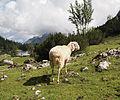 Sheep in Austria 2.jpg