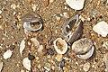 Shells (5822943440) (2).jpg