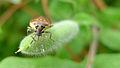 Shield bug face (16033428771).jpg