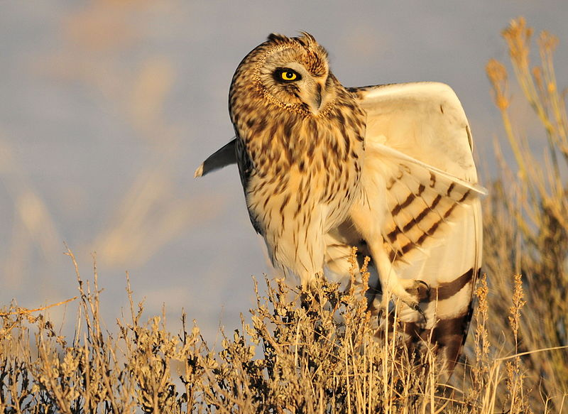File:Short-Eared Owl on Seedskadee NWR (23124063494).jpg