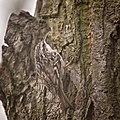 Short-toed treecreeper (49308931052).jpg