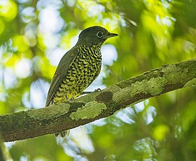 Shrike-like Cotinga - REGUA - Brazil S4E1690 (12814049155) (2).jpg