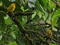 Sicalis flaveola (Canario coronado) (14003957616).jpg