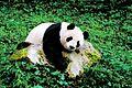Sichuan Panda.jpg