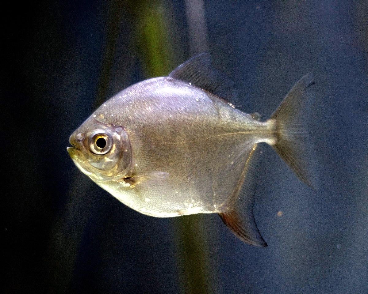 Silver dollar (fish) - Wikipedia