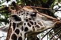 Singapore Zoo Giraffe eating-1 (8321605592).jpg