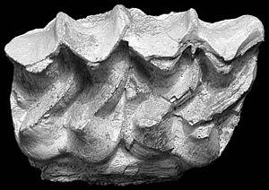 Sinohippus - Fragment of a S. sampelayoi maxilla