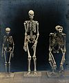 Skeleton of a man, a woman (pygmy) and a gorilla Wellcome V0029413.jpg