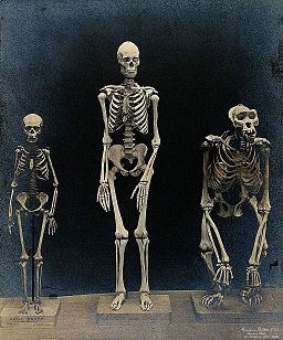 Skeleton of a man, a woman (pygmy) and a gorilla Wellcome V0029413