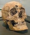 Skull of Odwinus.jpg