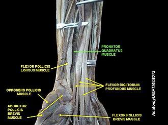 Pronator quadratus muscle - Image: Slide 27OOOO