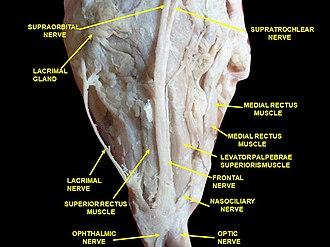 Lacrimal gland - Image: Slide 4abab