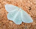Small Emerald. Hemistola chrysoprasaria - Flickr - gailhampshire.jpg
