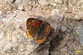 Small copper (NH) (11204066404).jpg