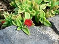 Small red flower.jpg