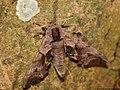Smerinthus ocellata 04.JPG
