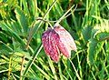 Snake's head fritillary, North Meadow NNR, Cricklade - geograph.org.uk - 791173.jpg