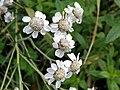 Sneezewort (Achillea ptarmica) (24859459401).jpg