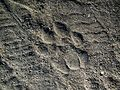 Snow leopard pugmark AJT Johnsingh IMG 1031.JPG