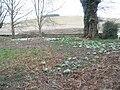 Snowdrops in Singleton churchyard in West Sussex England.jpg