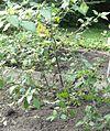 Solanum nigrum Botanic garden Göttingen.jpg