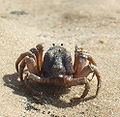 Soldier crab Croajingolong.jpg