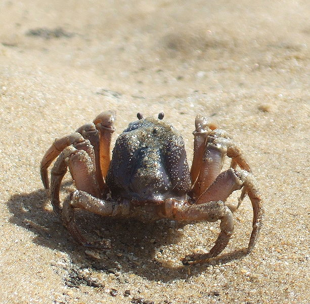 613px-Soldier_crab_Croajingolong.jpg