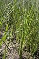 Sparganium americanum 2 (20083119248).jpg