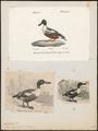 Spatula clypeata - 1700-1880 - Print - Iconographia Zoologica - Special Collections University of Amsterdam - UBA01 IZ17600471.tif