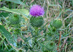 Spear Thistle, Ottawa.jpg