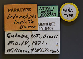 Red imported fire ant - Casent label of S. invicta paratype worker
