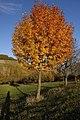 Speierling Herbst.jpg