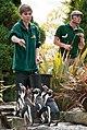 Spheniscus humboldti -Birdworld, Farnham, Surrey, England -zoo keepers-8a.jpg