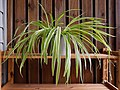 Spider plant with plantlets and flowers.jpg