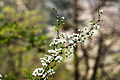 Spiraea prunifolia var. simpliciflora 2014년 4월 9일 (13768440464).jpg