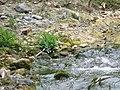 Spotted Forktail - Enicurus maculatus - P1070835.jpg
