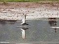 Spotted Redshank (Tringa erythropus) (41349844995).jpg