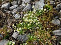 Spring Sandwort is a tiny flower - geograph.org.uk - 796010.jpg