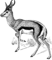 Springbok (PSF).png