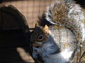 Squirrel (2171683687).jpg
